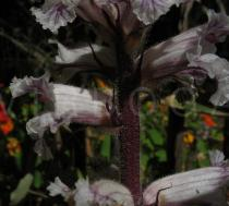 Orobanche crenata - Flower, side view - Click to enlarge!