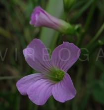 Oxalis debilis - Flower - Click to enlarge!