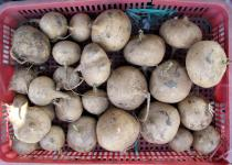 Pachyrhizus erosus - Tubers on market - Click to enlarge!