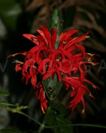 Pachystachys coccinea - Inflorescence - Click to enlarge!