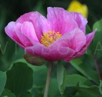 Paeonia daurica - Flower, side view - Click to enlarge!