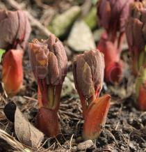 Paeonia daurica - Emerging foliage - Click to enlarge!