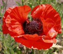 Papaver bracteatum - Flower - Click to enlarge!