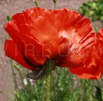 Papaver bracteatum - Flower, side view - Click to enlarge!