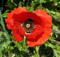 Papaver rhoeas - Flower - Click to enlarge!