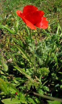 Papaver rhoeas - Habit - Click to enlarge!