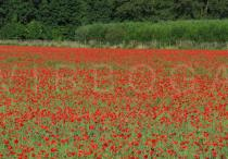 Papaver rhoeas - Poppy field - Click to enlarge!