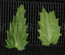Parentucellia viscosa - Upper and lower surface of leaf - Click to enlarge!