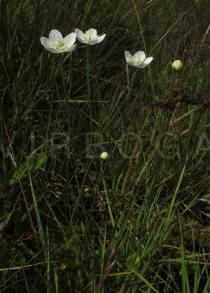 Parnassia palustris - Habit - Click to enlarge!