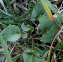 Parnassia palustris - Foliage - Click to enlarge!