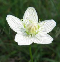 Parnassia palustris - Flower - Click to enlarge!