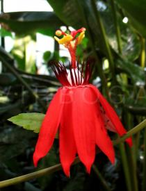 Passiflora coccinea - Flower - Click to enlarge!