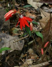 Passiflora coccinea - Flower and flower buds - Click to enlarge!