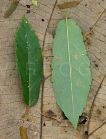 Passiflora coccinea - Upper and lower surface of leaf - Click to enlarge!