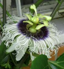 Passiflora edulis - Flower, side view - Click to enlarge!