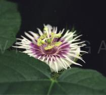 Passiflora foetida - Flower side view - Click to enlarge!