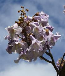 Paulownia tomentosa - Inflorescence - Click to enlarge!