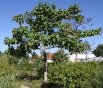 Paulownia tomentosa - Habit - Click to enlarge!