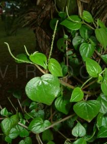 Peperomia pellucida - Branch - Click to enlarge!