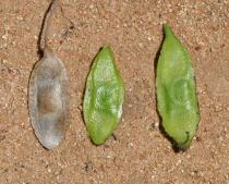 Pericopsis angolensis - Pods - Click to enlarge!