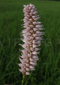 Persicaria bistorta - Inflorescence - Click to enlarge!