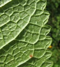 Phlomis tuberosa - Lower surface of leaf close-up - Click to enlarge!