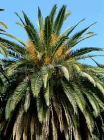 Phoenix canariensis - Crown - Click to enlarge!