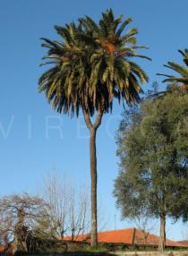 Phoenix canariensis - A rare case of <i>P. canariensis</i> with a bifurcated trunk, probably due to injured growing point - Click to enlarge!