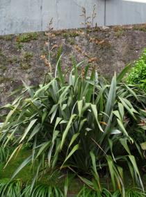 Phormium tenax - Habit - Click to enlarge!