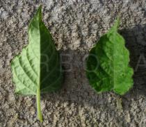 Physalis peruviana - Upper and lower side of leaf - Click to enlarge!