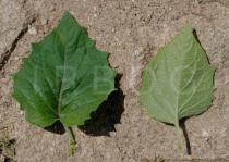 Physalis peruviana - Upper and lower surface of leaf - Click to enlarge!