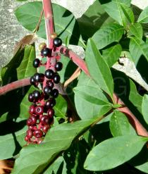 Phytolacca americana - Ripe fruits - Click to enlarge!