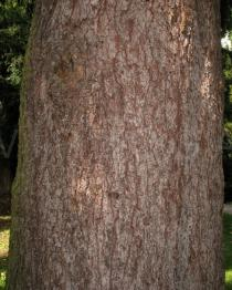 Picea abies - Bark - Click to enlarge!