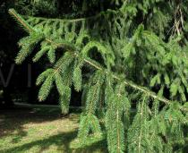 Picea abies - Branch - Click to enlarge!