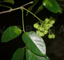 Picrasma chinensis - Flower buds - Click to enlarge!