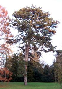Pinus nigra - Habit - Click to enlarge!
