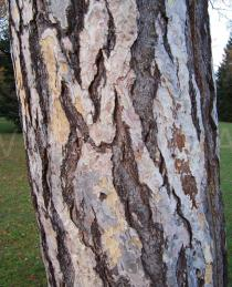 Pinus nigra - Bark - Click to enlarge!