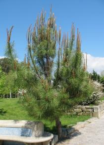 Pinus pinaster - Young tree - Click to enlarge!