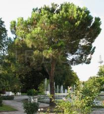 Pinus pinea - Habit - Click to enlarge!