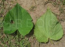 Piper marginatum - Upper and lower surface of leaves - Click to enlarge!