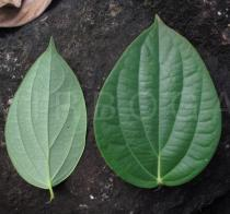 Piper nigrum - Upper and lower surface of leaves - Click to enlarge!
