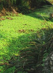 Pistia stratiotes - Covering drain in oil palm plantation - Click to enlarge!