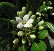 Pittosporum tobira - Flower - Click to enlarge!