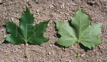 Platanus x hispanica - Top and lower side of leaf - Click to enlarge!