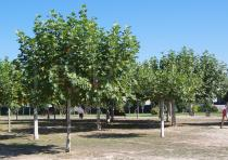 Platanus x hispanica - Habit - Click to enlarge!