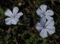 Plumbago auriculata - Flowers - Click to enlarge!