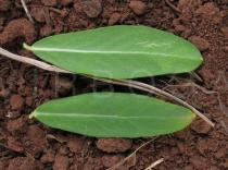 Polygala myrtifolia - Upper and lower surface of leaf - Click to enlarge!