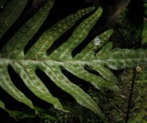 Polypodium azoricum - Lower surface of frond - Click to enlarge!