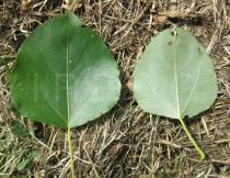 Populus maximowiczii - Upper and lower surface of leaf - Click to enlarge!
