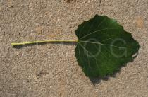 Populus tomentosa - Upper leaf surface - Click to enlarge!